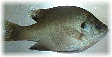 Coppernose Bluegill - CNB - FINGERLING FISH Coppernose Bluegill
